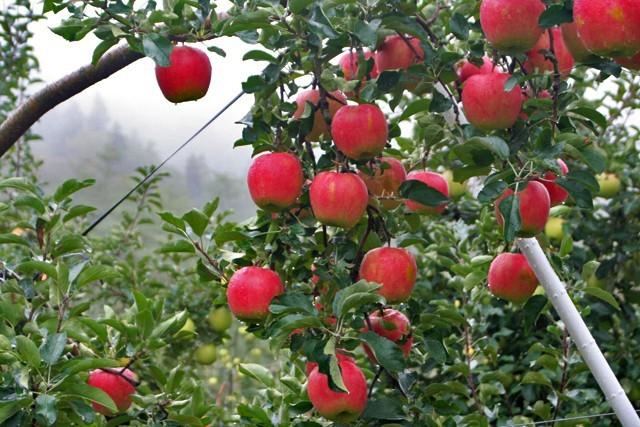 田村りんご園   ファーム情報:フルーツ狩り