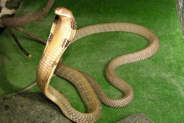 キングコブラの画像 p1_8