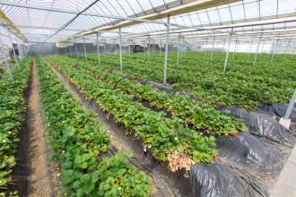 天沼いちご園の土耕栽培