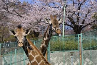 春には桜がきれい。キリンもうれしそう。