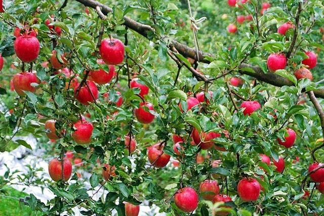 りんご 沼田